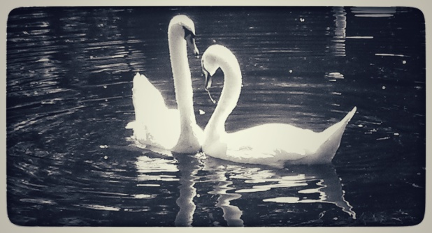 Swans courting -River Lee canal.